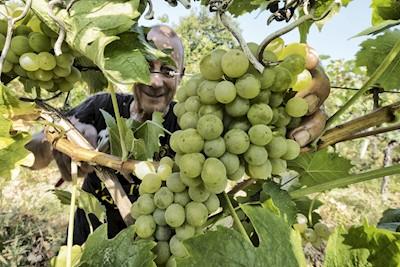Velenosi Vini, Ascoli Piceno Marche
